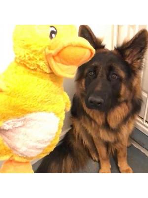 Quackers o Pato
